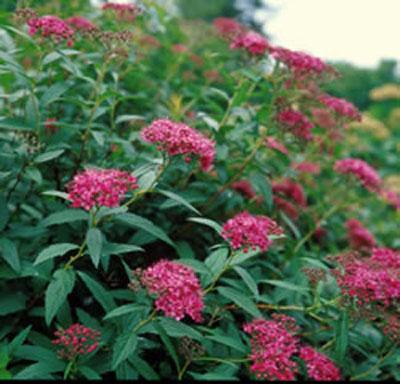 Image gallery low growing shrubs for Low growing flowering shrubs
